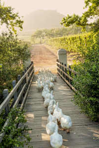 6.Working ducks cross the bridge to the vineyards, where they will zap snails all day